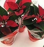Stella di Natale set N. 3 Piante vere in vaso cm. 10