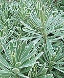 Euphorbia characias 'Silver Swan' 1 x 1.5 Litre Pot