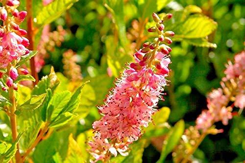 30 Ruby Spice Sweet PEPPERBUSH Seeds - Clethra alnifolia 'Ruby Spice'