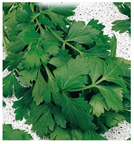 6000 Aprox. - Graines de persil géant d'Italie - Petroselinum Crispum Dans emballage d'origine Fabriqué en Italie - Persil géant