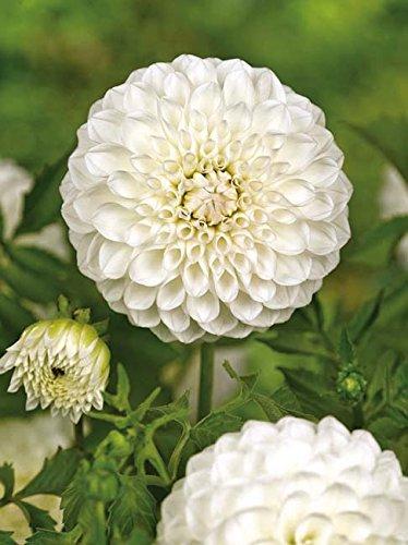 Lemo Gartendesign Dahlie `Boom Boom White` (Dahlia Ball `Boom Boom White`, 1 Stück)