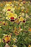 Wasserpflanzen Wolff - Mimulus tigrinus - Getigerte Gauklerblume, gelb-rot gefleckt