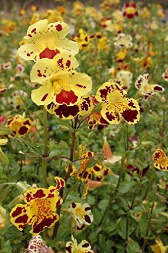 4er-Set im Gratis-Pflanzkorb - Mimulus tigrinus - Getigerte Gauklerblume, gelb-rot gefleckt - Wasserpflanzen Wolff