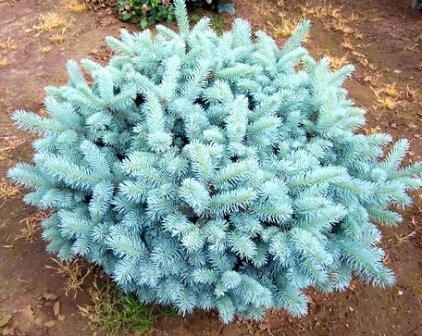 Globosa Colorado Blue Spruce 1 - Year Live Plant