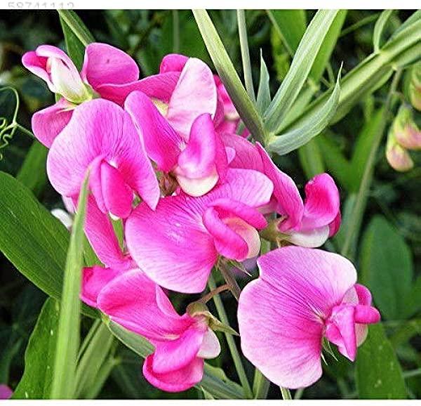 AGROBITS 56F8 25pcs Rare Swe pois Lathyrus OdoratusSeed organique