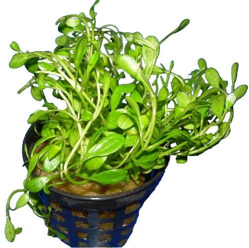 Glossotigma elatinoides - Australisches Zungenblatt, Wasserpflanzen