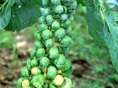 Choux de Bruxelles - Long Island améliorée - Heirloom - sans OGM - 25 graines