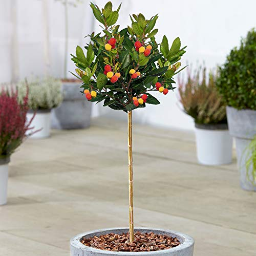 Arbutus Compacta Tree | Potted Strawberry Trees for Small Gardens Patios | Straight Standard Stem Ornamental Garden Plants | 2-3ft (70-80cm (Incl. Pot))