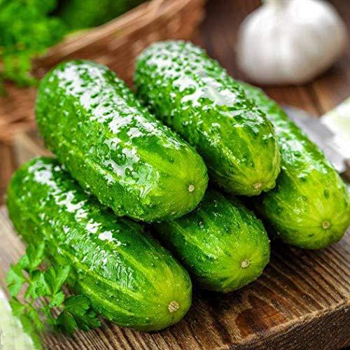 AIMADO Samen-30 Pcs Veredelte Snack-Gurke 'Minik' F1 Saatgut Bio Gemüse exotische Samen aus Russland, Für Gewächshaus, Freiland und Balkon