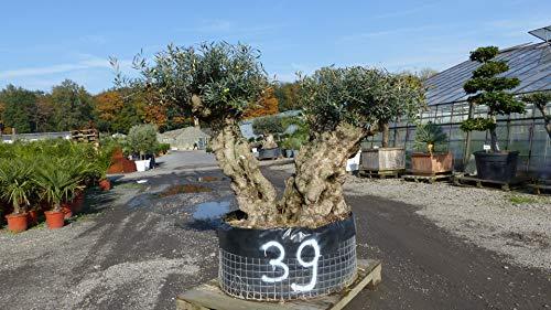 Nr. 39 genau dieser: Mega Olivenbaum, 2-stämmig, knorrige alte urige Olive winterhart
