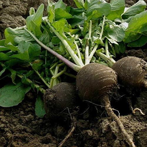 PAPCOOL Radish Garden New products world's highest quality popular Sale item Sẹẹds - Round Non-GMO Black Spanish