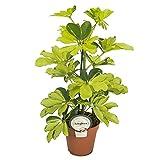 Strahlenaralie (Schefflera arboricola), luftreinigende Zimmerpflanze, pflegeleicht, ca. 45cm hoch im 13cm Topf (Sorte: Melanie, zweifarbig fast gelbes Laub)