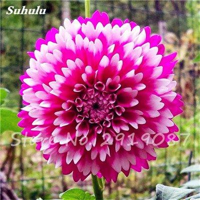 50 Pcs rares Graines Bonsai Dahlia (non Dahlia Bulbes) mixte en chinois Superbe fleurs Balcon Plante en pot Maison et Jardin 9