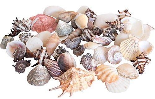 Homeshop3000 Tropische Meeres Muscheln - GROß 1kg Beutel - Heim Deko Design Badezimmer
