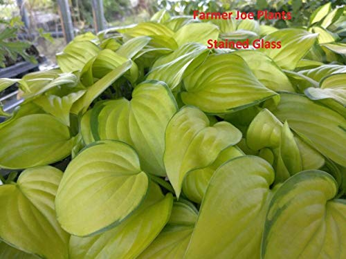 "1 Live Plant - 4"" Pot HOSTA - Stained Glass -"