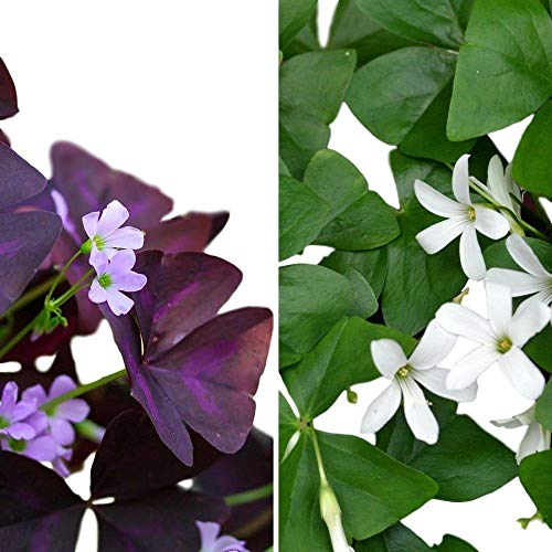 Oxalis Triangularis and Regnelli Combo | Purple and Green Shamrocks - 40 Robust Bulbs for Planting - 3/4' Tubers - Easy to Grow Indoors & Outside | Ships from Easy to Grow TM