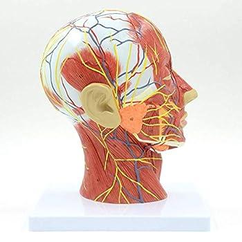 Best anatomy of sinuses Reviews