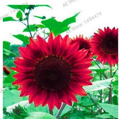 Bloom Green Co. Gran promoción!Flores de girasol enano, plantas ornamentales, plantas en maceta Bonsai Helianthus Annuus plante para jardín balcon: Rojo