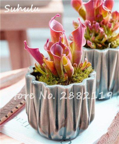 60 Pcs vivaces Nepenthes Seeds Carnivores Venus Fly Trap plus chaud du monde des plantes Graines Bonsai Garden Seed Color Mix Livraison gratuite 18