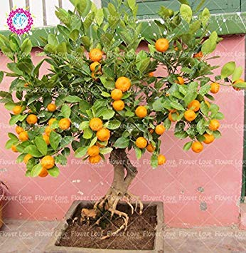 40PCS Mini Orange Tree Graines Graines de fruits en pot comestibles bio Bonsai Top qualité Orange Tree Graines de plantes vivaces de jardin