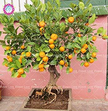 40PCS Mini Orange Tree Graines Graines de fruits en pot comestibles bio Bonsai Top qualité Orange Tree Graines de plantes vivaces de jardin