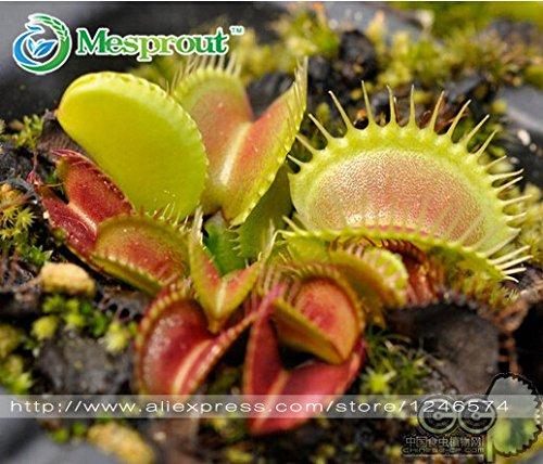 semences nouveaux plantes Balcon fleurs fraîches Cordyceps, Cordyceps de capture - Graines 20PCS Maison Décoration pot Plante carnivore