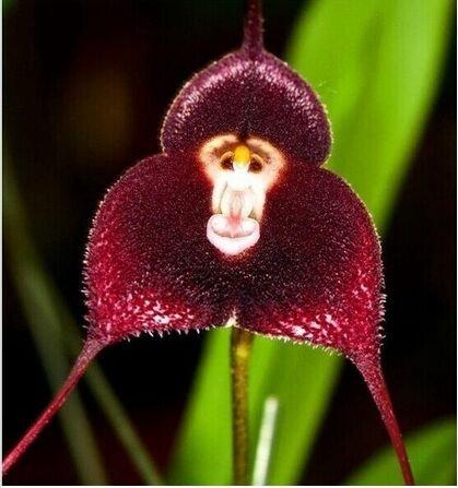 50 Stück Topf Peru Monkey Face Orchid Samen, Affen-Knabenkraut Ältere Phalaenopsis Bonsaipflanzen Blumensamen, Plus-Mysterious Geschenk