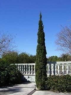 20 Mediterranean Cypress Tree Green Spire/Pencil Pine/Indian Cedar Seeds