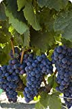 Cabernet Sauvignon CL43 Certified Grafted/1103P - Plantable Year Round!