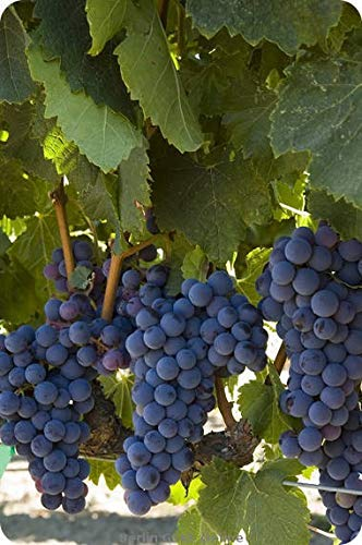Cabernet Sauvignon CL29 Certified Grafted/1103P - Plantable Year Round!