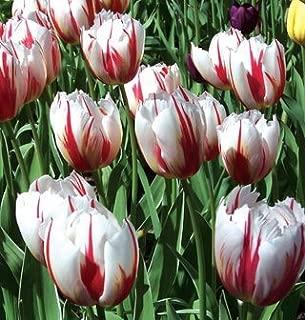 tulip grand perfection