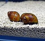 5 Tiger Nerite Snails