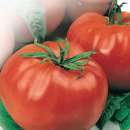 Rouge Tomate Moneymaker Graines Heirloom NON OGM, l'agriculture biologique