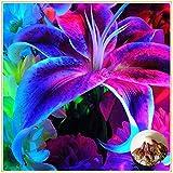 Zwiebel Lilie Lilie Riesenlilie,Die seltene magische blaue Glühbirne ist sehr attraktiv anzusehen-2zwiebeln