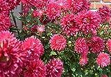 crisantemo cina aster semi 30 pz carzy facile da coltivare semi di fiori da giardino all'aperto annuali callistephus chinensis rosa (magenta)