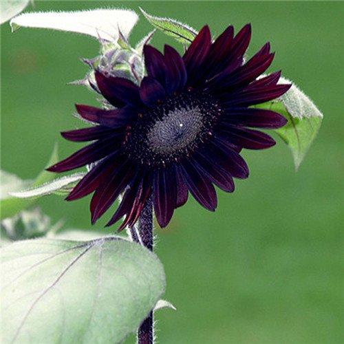 20 pcs/sac de graines de tournesol, graines de tournesol pour la plantation des graines de fleurs bonsaï croissance naturel pour le jardin de la maison Plantin 8