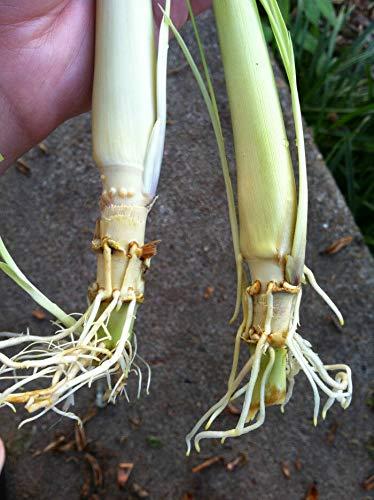 4 Pflanzen: Pflanzen - Bio-Zitronengras - Cymbopogon citratus- Citronella - Ausgezeichnete Herb