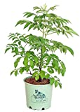American Beauties Native Plants - Sambucus canadensis 'Adams' (Elderberry) Shrub, , #3 - Size Container
