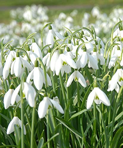 25x Galanthus woronowii | 25er Set Schneeglöckchen Zwiebeln | Blumenzwiebeln Mehrjährig Winterhart | Blumenzwiebeln Frühblüher | Ø 5cm