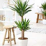 Yucca Elephantipes | 2 Troncs | Plante verte d'intérieur | Hauteur 90-100cm | Pot de ø 21cm
