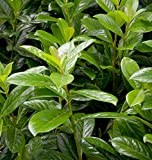 Kirschlorbeer Novita 30-40cm - Prunus laurocerasus