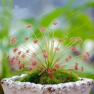 Dress - 100 Bonsai/Bag Drosera Peltata Potted Plant Circular Carnivorous Plants