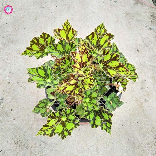 GETSO 100Pcs / Bag Begonia Bonsai Pflanze Indoor Bonsai Blumengarten Begonia Perilla Pflanzen für Haus-Garten-Dekoration Topfpflanzung: 5