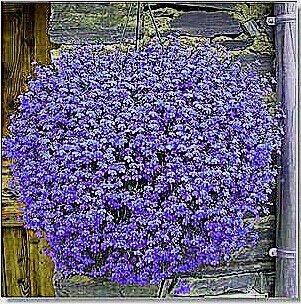 Vista 5: Rare hybride mixte rouge-vert-rose-violet-lin-graines-lin-suspendre-bonsaï-Flowewr, paquet professionnel, 50 graines/paquet, beau