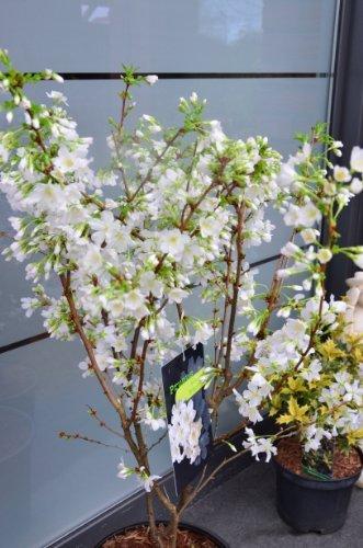 Japanische Zierkirsche Prunus kurilensis Brilliant 60-80 cm hoch im 5 Liter Pflanzcontainer