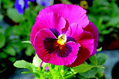 50 Pansy Samen Pansy Gesichter Rosen-Samen