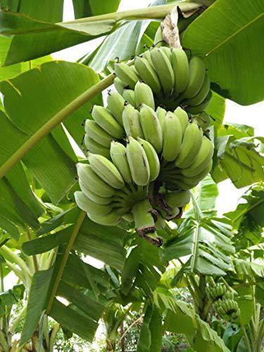 300pcs Banana Fruit Tree Seeds Bonsai Home Decor Plant