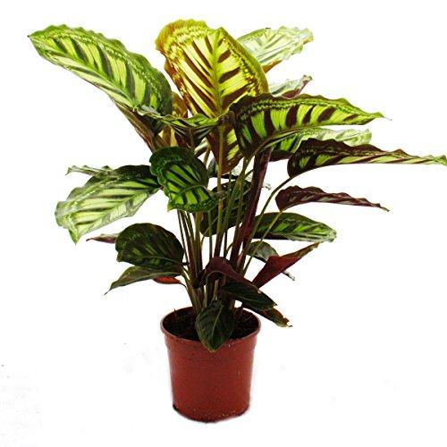 Exotenherz - Schattenpflanze mit ausgefallenem Blattmuster - Calathea roseapicta - 14cm Topf - ca. 50cm hoch