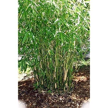 Cold Hardy To 0°f. Sasa Palmata Nebulosa Live Bamboo Plant Very Large Tropica