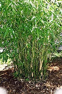 Green Hedge Clumping Bamboo Plant - Bambusa Multiplex - One Gallon Size - Non-invasive Form